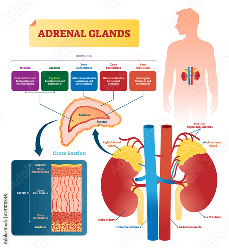 Photo Adrenal glands vector illustration