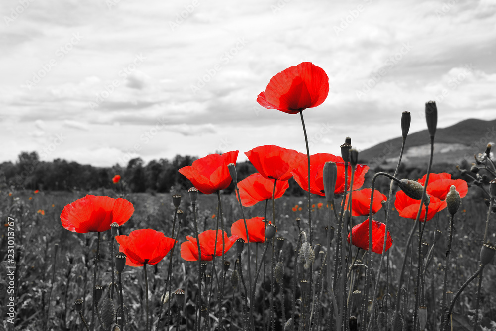 Fototapeta Guts beautiful poppies on black and white background. Flowers Red poppies blossom on wild field. Beautiful field red poppies with selective focus. Red poppies in soft light  - obraz na płótnie