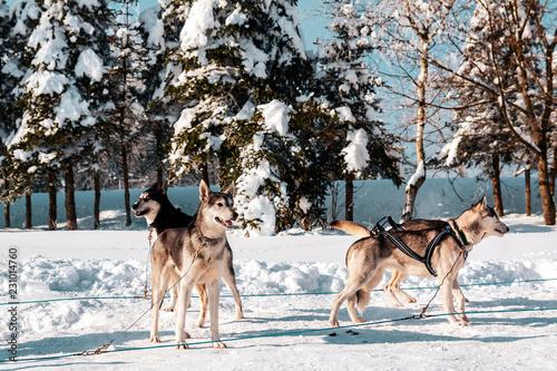 Schlittenhunde kurz vor dem Rennen