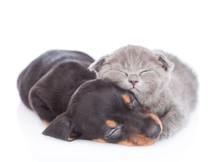 Funny Kitten And  Dachshund Pu...