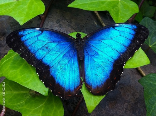 La pose en embrasure Papillon Blue butterfly