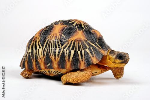 Strahlenschildkröte (Astrochelys radiata) - Radiated tortoise