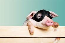 Cute Piglet Animal In Aviator ...