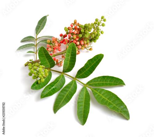 Fototapeta Schinus terebinthifolia or Brazilian peppertree, aroeira or rose pepper, broadleaved pepper tree, wilelaiki or wililaiki, Christmasberry and Florida Holly isolated. obraz