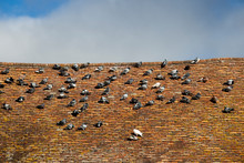 Rock Doves, Or Common Pigeons,...