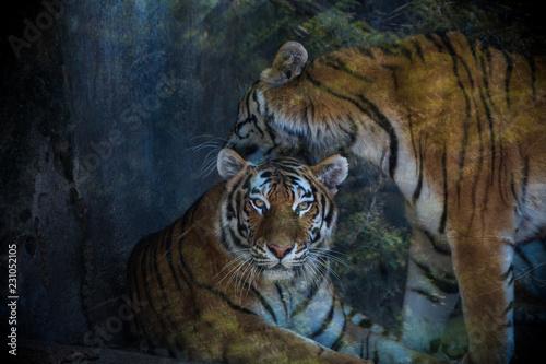 Fototapety, obrazy: Tiger closeup