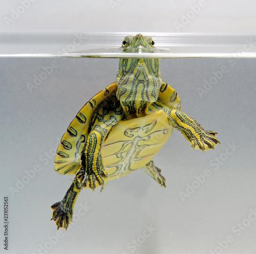 Fotografie, Obraz  junge Nicaragua Ornamentschildkröte (Trachemys emolli) -  Nicaraguan slider