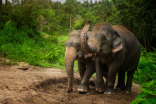 Elephants Playing In The Mud P...
