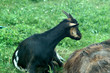 organic food goat family on natural grazing
