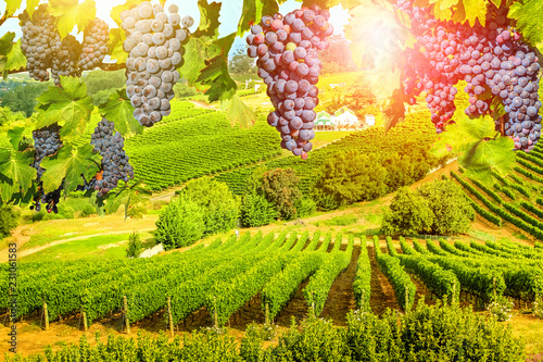 Photo sur Aluminium Vignoble Red grapes hanging in vineyard. Grape wineland landscape landscape at sunset in Constantia valley, Cape Town, Western Cape, South Africa. Seasonal picturesque background.