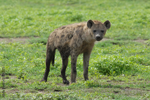 Deurstickers Hyena Spotted hyena in Serengeti National Park, Tanzania