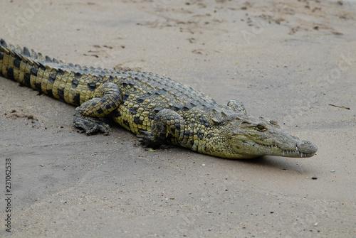 Spoed Foto op Canvas Krokodil Nile crocodile