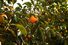 Fresh Persimmons Fruit On Persimmon Tree, Close-up, Outdoors. Agriculture And Harvesting Concept