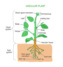 Vascular Plant Biological Stru...