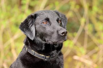 Close up portrait of a wet black Labrador retriever