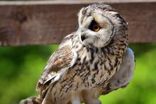 Long Eared Owl (Asio Otus)