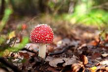 Beautiful Red Fly Agaric Mushr...