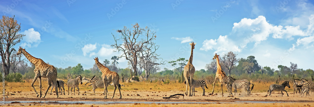 Fototapeta Typical African Vista with zebra and giraffe around a waterhole with a natural bushveld background. Hwange National Park, Zimbabwe. Heat Haze is visible