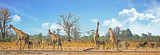 Fototapeta Sawanna - Typical African Vista with zebra and giraffe around a waterhole with a natural bushveld background. Hwange National Park, Zimbabwe. Heat Haze is visible