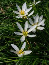 False Garlic, White Flowers Close-up