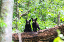 Twin Black Bear Cubs