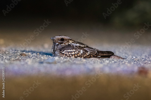 Photo Chotacabras europeo  (Caprimulgus europaeus)