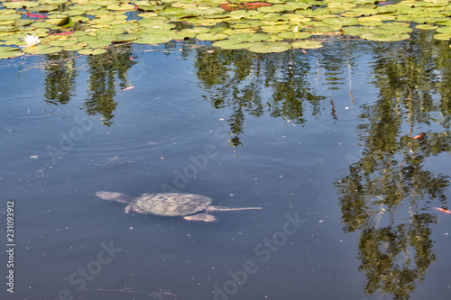 Fotografie, Obraz  Pond with Snapping Turtle