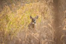 Whitetail Buck Walking In Grass
