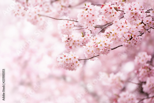 Fotografia Cherry blossom in full bloom