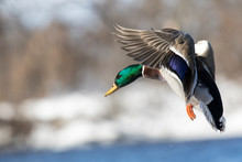 Mallard Flying Winter