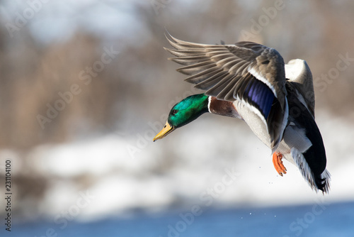 mallard flying winter Fototapeta