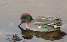 A Beautiful Male Teal Duck (An...