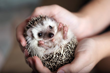 Cute African Hedgehog On Baby ...