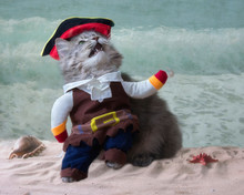 Gray Cat In A Pirate Costume On The Beach