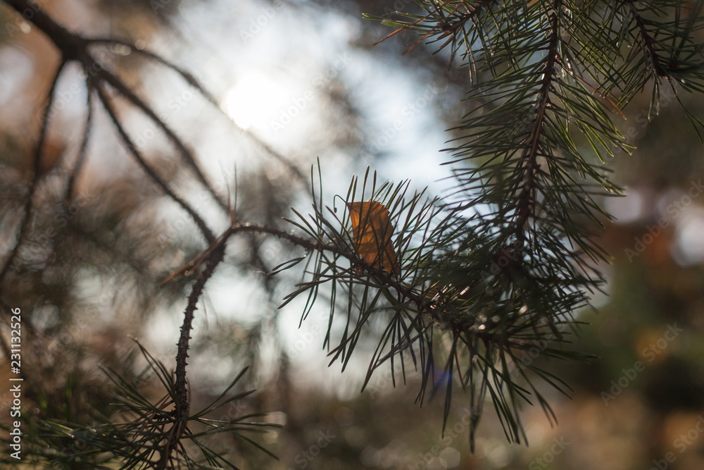 pine tree branch with cones