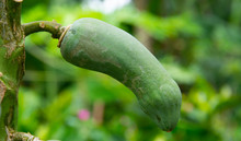 Papaya Ball Resembles A Penis. Nature Created Bizarre Green Background Of Leaves
