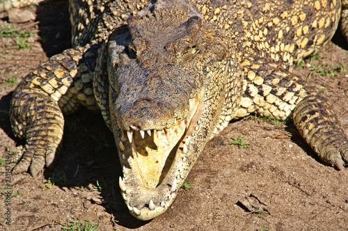 Cabeza de cocodrilo cubano. Ciénaga de Zapata.