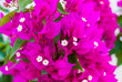 canvas print picture - Bright pink purple bougainvillea flowers as floral background. Close - up of bougainvillea flowers
