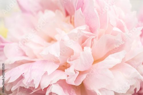 Fototapeta Pastel pink flower on a white background obraz na płótnie