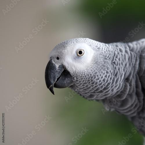 portret papugi żako