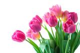 Fototapeta Tulipany - Pink tulip on white background.