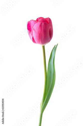Pink tulip flower isolated on white background