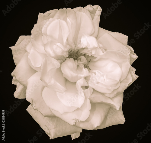 Fototapety, obrazy: Vintage monochrome black and white sepia toned fine art still life bright floral macro of a single isolated white wide open rose blossom,black background,detailed texture