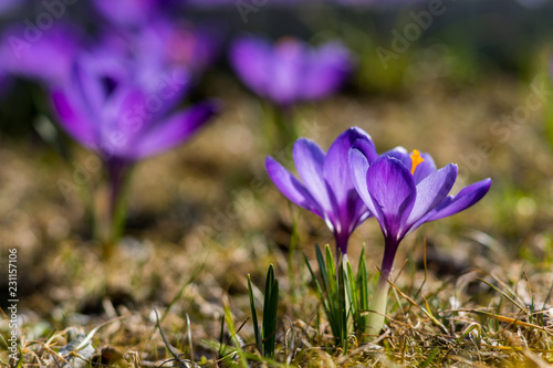Foto op Canvas Krokussen Early purple crocus