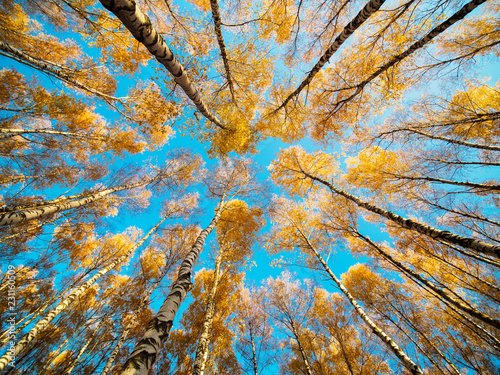 Fotografie, Obraz  Uprising view on autumn park with yellow trees and blue sky