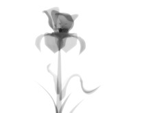 Radiography Flower Photo, Macr...