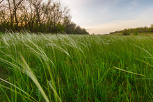 The Meadow With Feather Grass Near The Forest In The Dusk Time