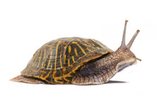 Simple Different, Snail With Tortoise Shell
