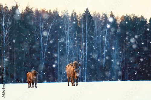 Fotografie, Obraz  Aurochs bison in nature / winter season, bison in a snowy field, a large bull bu