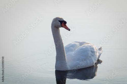 Keuken foto achterwand Zwaan Pretty swan on a lake